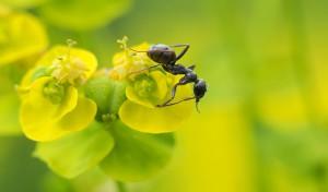 wood-ant